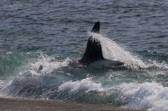 Φάλαινα δολοφόνων, Παταγωνία Στοκ Εικόνες