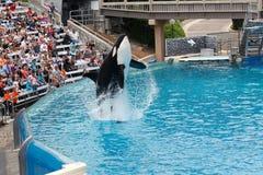 Φάλαινα δολοφόνων που εκτελεί τον εν πλω κόσμο Στοκ Φωτογραφία