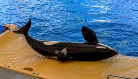 Φάλαινα δολοφόνων που καθορίζεται Στοκ Φωτογραφία