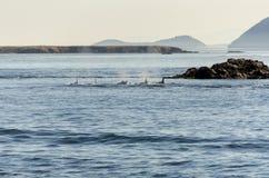 Φάλαινα δολοφόνων στο Βανκούβερ Στοκ Φωτογραφία