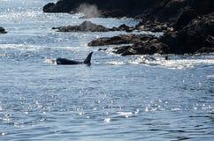 Φάλαινα δολοφόνων στο Βανκούβερ Στοκ Φωτογραφίες