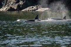 Φάλαινα δολοφόνων στο Βανκούβερ Στοκ εικόνα με δικαίωμα ελεύθερης χρήσης