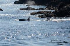Φάλαινα δολοφόνων στο Βανκούβερ Στοκ Εικόνα
