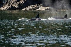 Φάλαινα δολοφόνων στο Βανκούβερ Στοκ Εικόνες