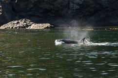 Φάλαινα δολοφόνων στο Βανκούβερ Στοκ φωτογραφία με δικαίωμα ελεύθερης χρήσης