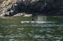 Φάλαινα δολοφόνων στο Βανκούβερ Στοκ εικόνες με δικαίωμα ελεύθερης χρήσης