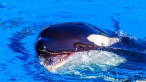 Φάλαινα δολοφόνων στο νερό Στοκ εικόνα με δικαίωμα ελεύθερης χρήσης