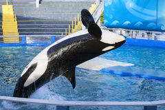Φάλαινα δολοφόνων Στοκ Φωτογραφίες