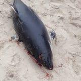 Φάλαινα δολοφόνων στοκ φωτογραφίες με δικαίωμα ελεύθερης χρήσης