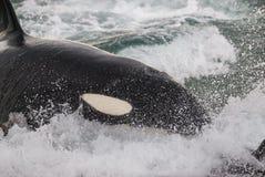 Φάλαινα δολοφόνων, Στοκ Φωτογραφίες