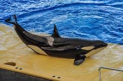 Φάλαινα δολοφόνων, grampus, orca Orcinus που χορεύει στο oceanarium, Tener Στοκ Φωτογραφία