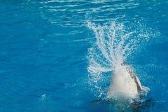 Φάλαινα δολοφόνων Orca κολυμπώντας Στοκ εικόνα με δικαίωμα ελεύθερης χρήσης