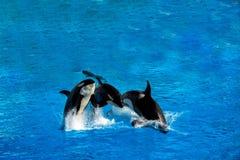 Φάλαινα δολοφόνων Orca πηδώντας Στοκ Εικόνες
