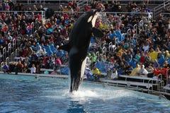 Φάλαινα δολοφόνων (orca Orcinus) Στοκ Φωτογραφίες