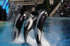 Φάλαινα δολοφόνων (orca Orcinus) Στοκ εικόνα με δικαίωμα ελεύθερης χρήσης