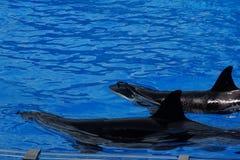 Φάλαινα δολοφόνων - orca Orcinus Στοκ φωτογραφίες με δικαίωμα ελεύθερης χρήσης