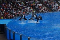 Φάλαινα δολοφόνων - orca Orcinus Στοκ Εικόνες