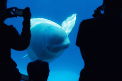 Φάλαινα Beluga με τους τουρίστες Στοκ Φωτογραφία