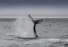 Φάλαινα Humback Στοκ Εικόνες