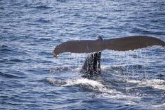 Φάλαινα Humpback κοντά στη Βοστώνη Στοκ εικόνες με δικαίωμα ελεύθερης χρήσης