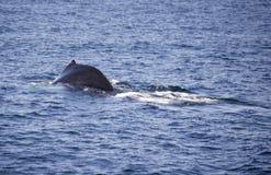 Φάλαινα Humpback κοντά στη Βοστώνη Στοκ φωτογραφίες με δικαίωμα ελεύθερης χρήσης