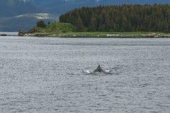 Φάλαινα Humpback μπροστά από τα δέντρα Στοκ φωτογραφίες με δικαίωμα ελεύθερης χρήσης