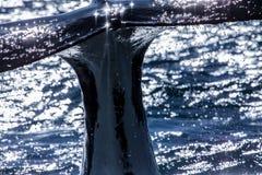 Φάλαινα Humpback που βουτά λίγο πριν Στοκ Εικόνες