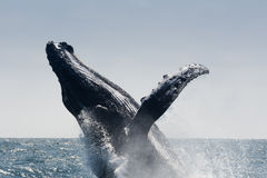 Φάλαινα Humpback που πηδά, Ισημερινός στοκ εικόνες