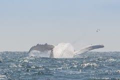 Φάλαινα Humpback που πηδά, Ισημερινός στοκ φωτογραφία
