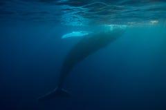 Φάλαινα Humpback στην επιφάνεια στοκ φωτογραφίες με δικαίωμα ελεύθερης χρήσης