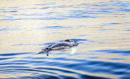 Φάλαινα Humpback Στοκ φωτογραφία με δικαίωμα ελεύθερης χρήσης