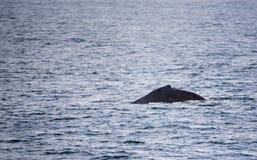 Φάλαινα Humpback Στοκ εικόνα με δικαίωμα ελεύθερης χρήσης