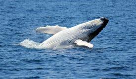 Φάλαινα Humpback Στοκ Φωτογραφίες