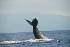 Φάλαινα Humpback στοκ φωτογραφίες με δικαίωμα ελεύθερης χρήσης
