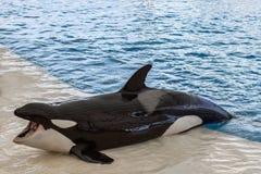Φάλαινα Orca, φάλαινα δολοφόνων έξω από τη λίμνη Στοκ Εικόνα