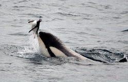 Φάλαινες δολοφόνων που παίζουν με Penguin Στοκ φωτογραφία με δικαίωμα ελεύθερης χρήσης