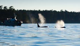 Φάλαινες δολοφόνων Orca που φυσούν, παρατηρητές φαλαινών Να εξισώσει τη σκιαγραφία Στοκ Φωτογραφίες