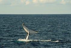 Φάλαινες Στοκ Εικόνα