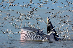 Φάλαινες Bryde's που επισημαίνονται από την ακτή της Ταϊλάνδης Στοκ εικόνες με δικαίωμα ελεύθερης χρήσης