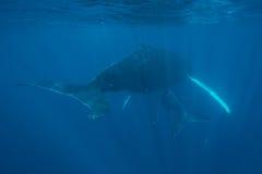 Φάλαινες Humpback που αιωρούνται στο μπλε νερό Στοκ φωτογραφία με δικαίωμα ελεύθερης χρήσης