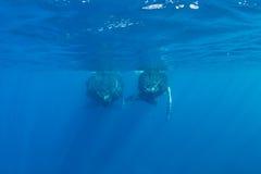 Φάλαινες Humpback στην επιφάνεια του Ατλαντικού Ωκεανού στοκ φωτογραφίες με δικαίωμα ελεύθερης χρήσης