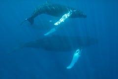 Φάλαινες Humpback στη σαφή, μπλε θάλασσα Στοκ φωτογραφία με δικαίωμα ελεύθερης χρήσης