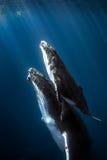 Φάλαινες Humpback Στοκ εικόνες με δικαίωμα ελεύθερης χρήσης
