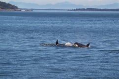 Φάλαινες Orca που χαράζουν μεταξύ τους Στοκ φωτογραφία με δικαίωμα ελεύθερης χρήσης