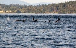Φάλαινες Orca Στοκ Εικόνα