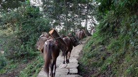 Φέρνοντας αγαθά τραίνων μουλαριών στα Ιμαλάια στο Νεπάλ απόθεμα βίντεο