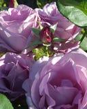 Φέρνοντας τα όμορφα ιώδη λουλούδια που περιβάλλονται από έναν κλειστό στοκ εικόνες