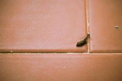 Φέρνοντας φορτίο μυρμηγκιών στο κεραμωμένο πάτωμα Στοκ φωτογραφία με δικαίωμα ελεύθερης χρήσης
