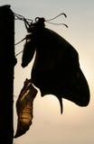 φέρουσα πεταλούδα swallowtail Στοκ Φωτογραφίες