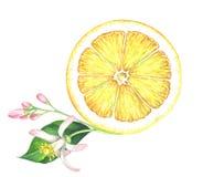 Φέτα λεμονιών Watercolor με το λουλούδι στο άσπρο υπόβαθρο Στοκ Εικόνες